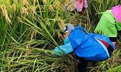 幼儿园小朋友割水稻 每人得两斤新米
