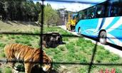动物园安全逃生演练 真老虎上阵