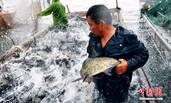 江西九江秋捕:一天捞十万斤鱼