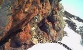 世界雪豹日 澜沧江源雪豹组照公布