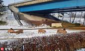 韩国运猪车高速上侧翻 猪仔雪地觅食