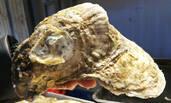 特大牡蛎现青岛 网友:不只有虾大