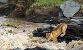 狮群冒险渡河捕猎