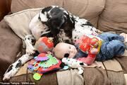 """英大丹犬贴心看护7月大女婴堪称""""最尽责保姆"""""""