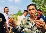 鱼台:藕田套养小龙虾 生态养殖富了寻常百姓家