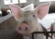 双汇病猪未制成肉制品 农业农村部:追查源头