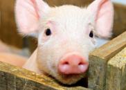连云港发生一起非洲猪瘟疫情:发病615头死亡88头