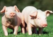 本月3起非洲猪瘟疫情之间有联系吗?农业农村部回应