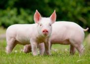 浙江乐清发生非洲猪瘟疫情:死亡340头