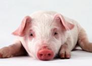 """""""非洲猪瘟""""蔓延至四省 还将扑杀3500万头猪?"""