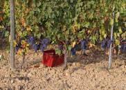 秋天的葡萄都熟了