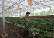 """大流店村的""""草莓经"""":产业优势变发展优势,奔向""""绿富美"""""""