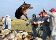 非洲猪瘟疫源在哪,传染人么?农科院专家答疑
