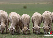 内蒙古镶黄旗牧民养殖察哈尔羊的致富经