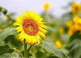 西海岸生态观光园开启盛夏赏花季 向阳花海绽放迎客