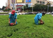 精细化管理体现在细节 市南一线工人进行绿化作业