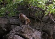 """探访巫山小三峡 路遇一群""""吃皇粮的猕猴"""""""