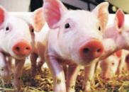 非洲猪瘟是种什么病? 如何安全购买猪肉?