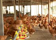 图集|惠州胡须鸡:走地鸡界的上品鸡种