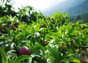 图集|口感清脆酸甜 红脆香甜李坚持原生态种植