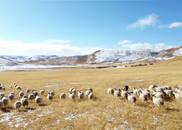 图集|刚察藏系羊:甘而不腻 回味无穷