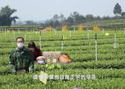 图集|四川宜宾春茶:香气高长 滋味浓厚