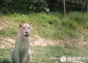 """""""猛""""""""萌""""分不清 非洲白狮夏日撒欢乐引人注目"""