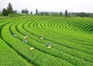 《大家来帮忙》  走进四川 宜宾茶农邀您品春茶