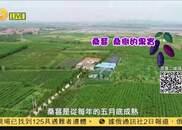 凤凰京东公益助农 辛安桑葚个大味甘