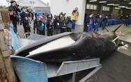 """日本重启商业捕鲸,是""""一场注定要失败的行动""""?"""