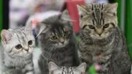 【萌宠】喵星人选美大赛:莫斯科猫展