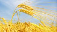 夏粮减产,中国人的饭碗还端得牢吗?