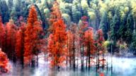 雾绕水杉似仙境