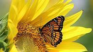先有蝶还是先有花? 地球第一朵花开前蝴蝶已存在