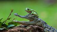 当树蛙和鳄鱼成为朋友