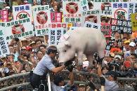 台湾立法院来了一头猪!美猪为啥谁在野谁反对?