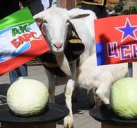 """小试""""羊""""刀!世界杯预言羊预测冰球"""
