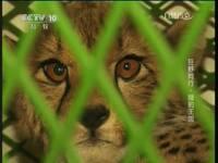 狂野同行 猎豹王国