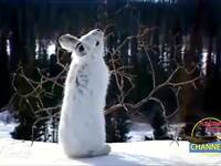 百年一遇的猞猁雪山追兔子画面