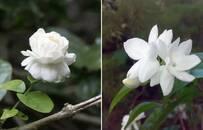 好一朵美麗的茉莉花,香在花園,也香在餐桌