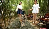 姑娘公园遛老虎 上演现实版美女与野兽
