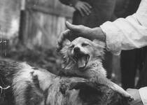 前苏联狗头移植实验