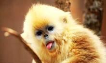"""古代皇家专用图案中为何包括一只名""""果然""""的猴子"""