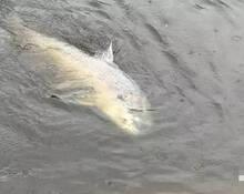 男子钓起百斤大鱼:搏斗2小时才拉出水面