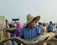 广东渔民捕获1000公斤黑鳘鱼群