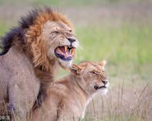 野狮开启交配模式尴尬一幕被抓拍