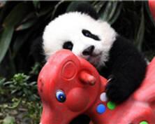 2017年新生大熊猫宝宝卖萌耍宝