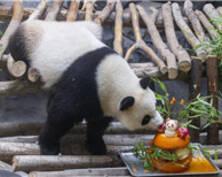 """""""冰镇生日蛋糕""""为这2只大熊猫庆生(组图)"""