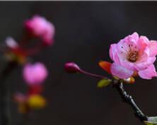 美!春天的海棠花竟然在冬日里开花(组图)