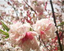 山花烂漫 春天的南京栖霞山满眼都是惊艳(组图)